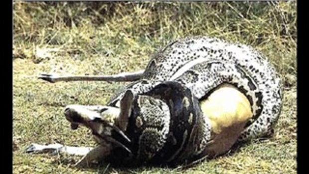 งู และ แมงมุมที่ใหญ่ที่สุดในโลก