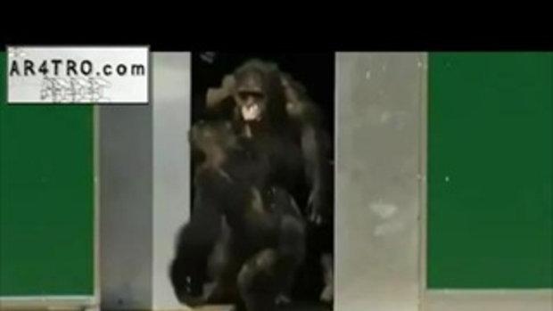 สุดซึ้ง! ชิมแปนซี พ้นห้องวิจัย โผกอดกันก่อนรับแดดแรกรอบ 30 ปี