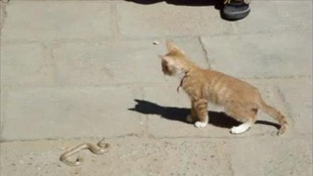 น้องแมวเล่นกับงู ไม่กลัวเอาซะเลย