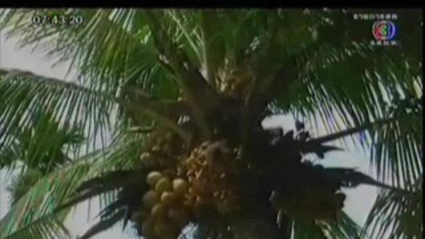 มะพร้าวประหลาด ออกลูกเป็นกล้วย