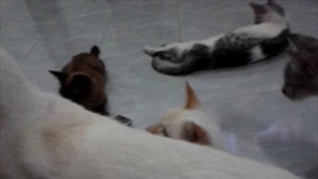 แมวกินข้าวโพด
