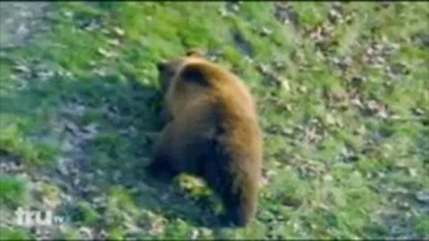 หมีสุดโหด กัดฉีกเนื้อคนเป็นชิ้นๆ