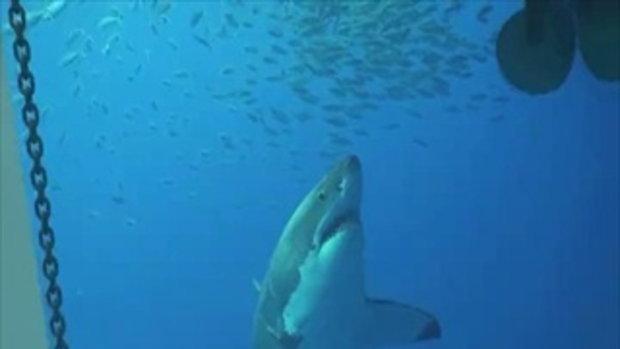 ระทึกสุดๆ ดำน้ำดูฉลามขาว จู่ๆ โดนฉลามพังกรง