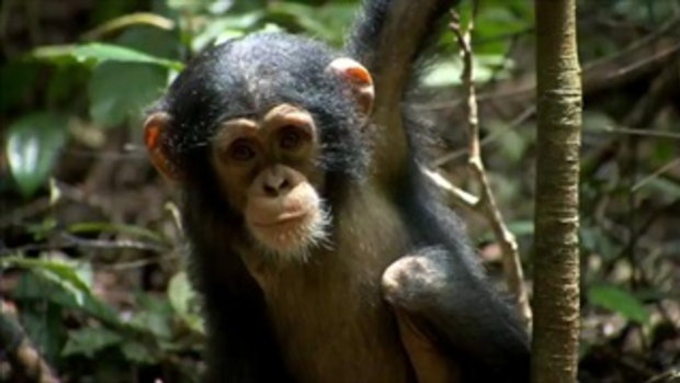 Chimpanzee - Trailer