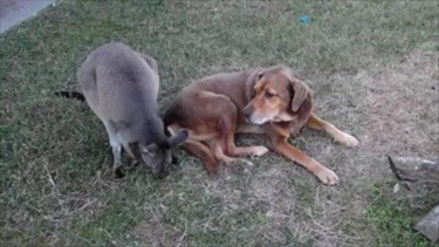 หวานจริงๆ จิงโจ้กับหมาจูบกัน