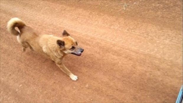 สุนัขน้ำตาลเล็กเดินไปตามหาแม่กับน้องด้วย