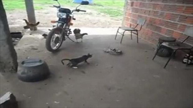 แมว Vs ไก่ Vs งู ศึก 3 เส้า ข้ามสายพันธุ์