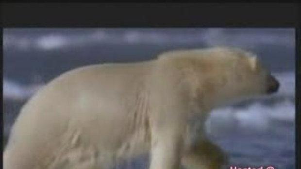 polar bear vs walrusสงครามเเห่งขั้วโลก
