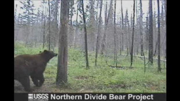 หมีเต้นรูดต้นไม้