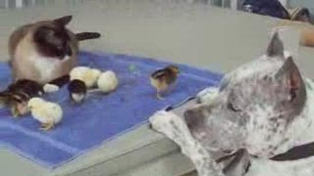บอดี้การ์ดลูกไก่