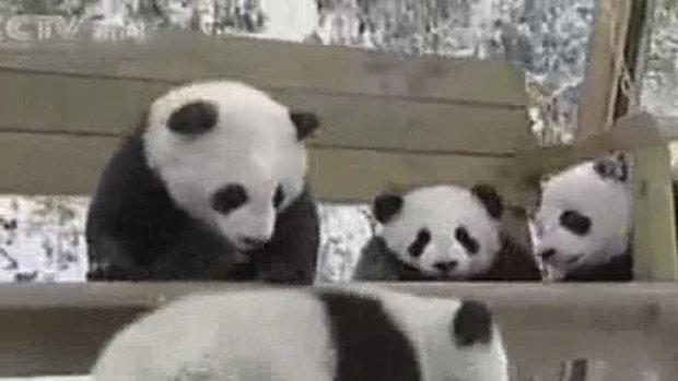 Panda Bybies