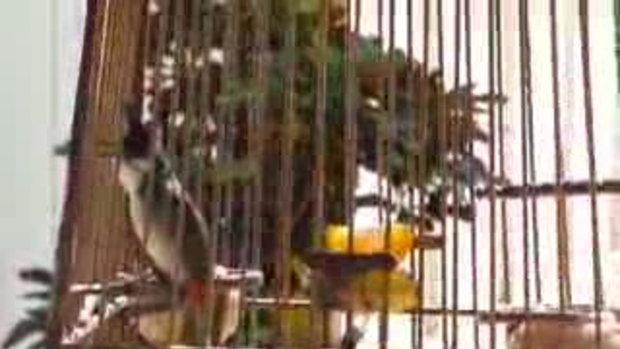 นกกรงหัวจุก Tatin - 4