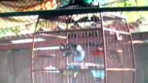 นกกรงหัวจุกสำเนียงตากแดด 0819415359