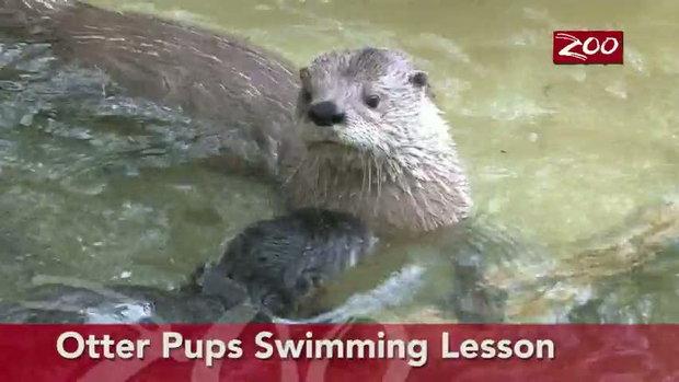 แม่ตัวนาก สอนลูกนากว่ายน้ำ
