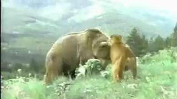 แม่เสือคูก้ากับหมี Grizzly ที่โหยหิว