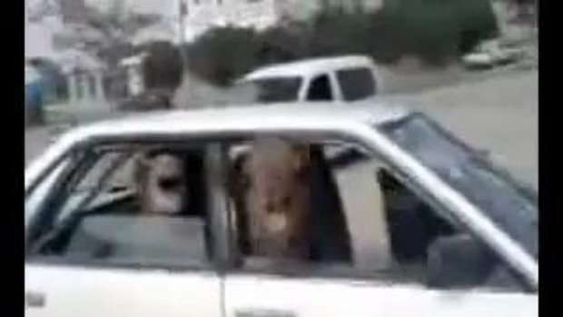 อูฐขี้โมโห ในรถ!