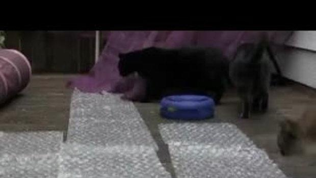 จะเกิดอะไรขึ้นเมื่อ แมว vs แผ่นกันกระแทก