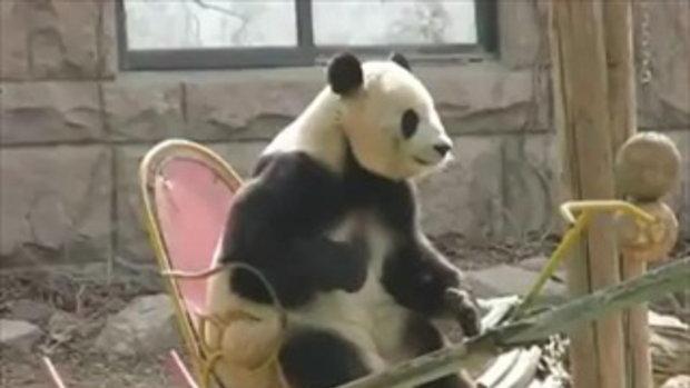 หมีแพนด้า เล่นเก้าอี้โยก
