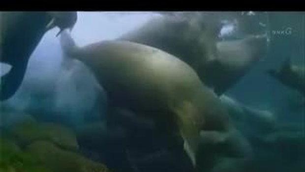หมีขั้วโลก ล่าสิงโตทะเล แต่พลาดท่า