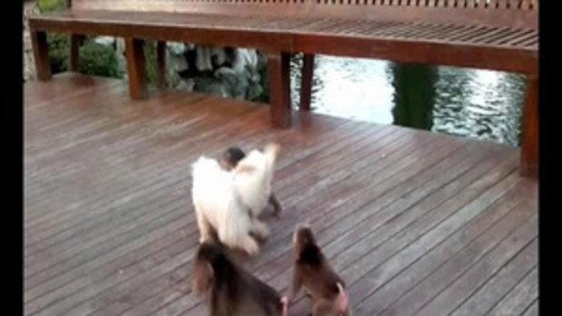 เจอแต่หมาหมู่ คราวนี่มาดูลิงหมู่รุมหมา