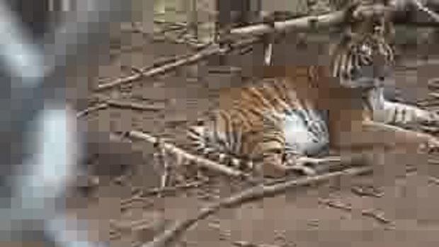 อันตรายอย่าเข้าใกล้กรงเสือ