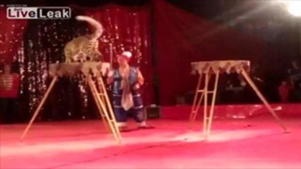 เสือดาว ขย้ำเด็กผู้หญิง ขณะแสดงโชว์