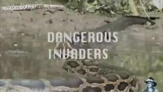 งูเหลือมยักษ์กินจระเข้ โหดสุดๆ