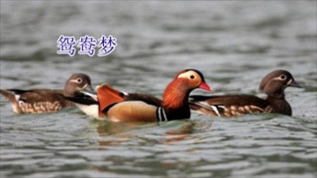 เพลงจีนความฝันนกเป็ดน้ำ