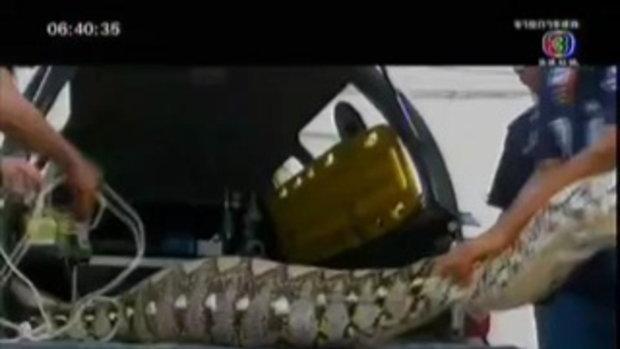 จับงูเหลือม กินเหยื่อจนท้องป่อง