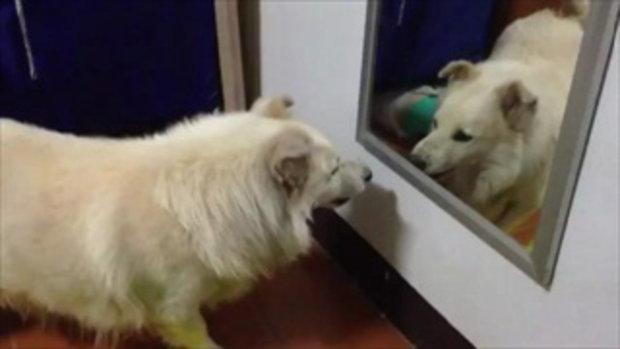 น้องหมาน่ารัก ขู่ตัวเองในกระจกซะงั้น