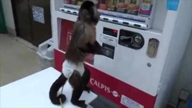 ลิงหยอดเหรียญ ซื้อน้ำจากตู้หยอดเหรียญอัตโนมัติ