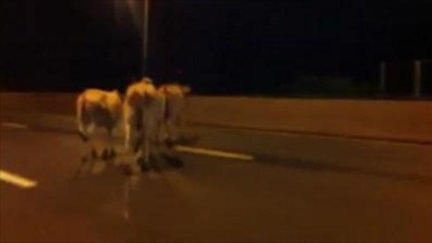 รถชนวัว บนทางด่วน