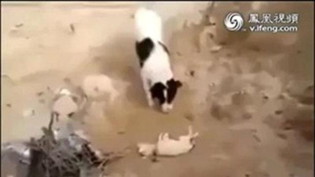 สุนัขฝังศพเพื่อน ไม่ใช้เท้าฝังแต่ใช้จมูกกลบแทน