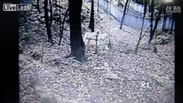 หมีแพนด้าพยายามปืนต้นไม้หนีแผ่นดินไหวที่จีน