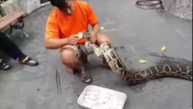ป้อนอาหารงู งูเป็นไข้หวัด สวนสัตว์ดุสิต