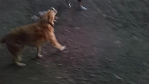 พี่โกลเด้น พาน้องหมาเดินเล่น น่ารักมาก!!