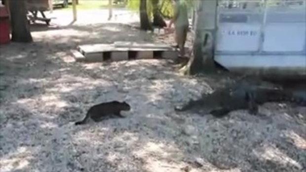คลิปสุดยอดแมวในตำนาน ปกป้องเจ้านาย ไล่จระเข้ 2 ตัวกระเจิง!!
