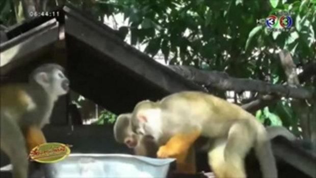สวนสัตว์เปิดเขาเขียวเปิดตัวสมาชิกใหม่ ลูกลิงกระรอก (15 พ.ค.58)