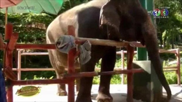 สวนสัตว์เชียงใหม่โชว์ตัว ช้างพังอุทัย ขาสั้นกว่าปกติ ขึ้นแท่นขวัญใจ นทท