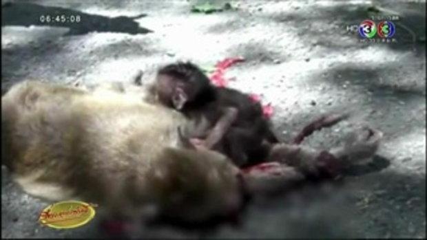 สลด ลูกลิงเขาสามมุกถูกรถชนตายซ้ำรอยแม่ (23 ธ.ค.58)