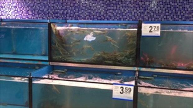 ฉลาดไม่เบา คลิปปลาไหลเลื้อยข้ามตู้ กินกุ้งตู้ข้าง ๆ อิ่มแล้วเลื้อยกลับ