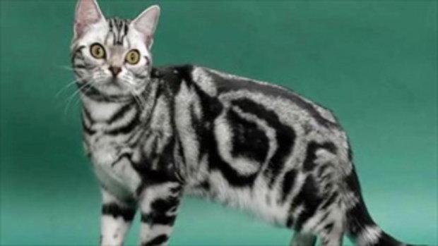 10 สายพันธุ์แมวที่สวยและน่ารักที่สุดในโลก!