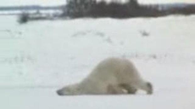 หมีขาวจอมขี้เกียจ