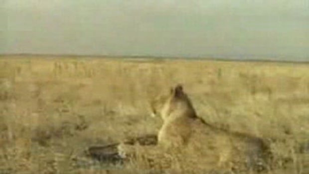 การต่อสู้ของหมูป่ากับเสือ