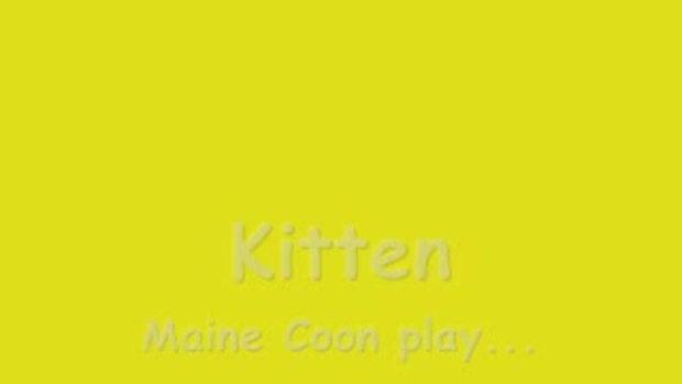 kitten mainecoon play