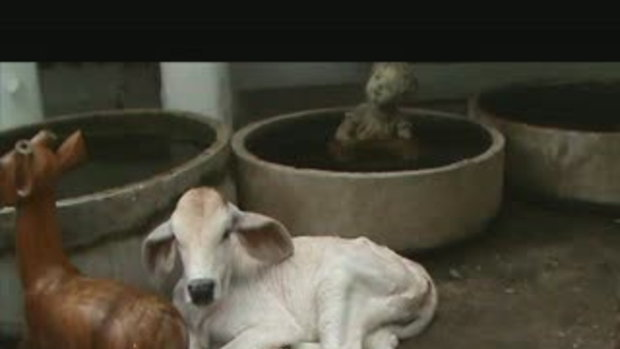 Calf abandoned by mother