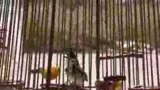 นกกรงหัวจุก Tatin-5