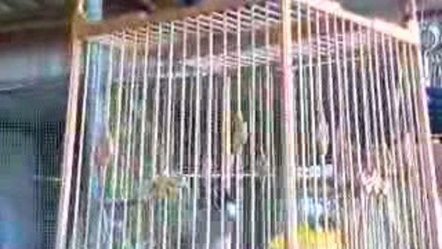 นกหัวจุก ชื่อ เพชร