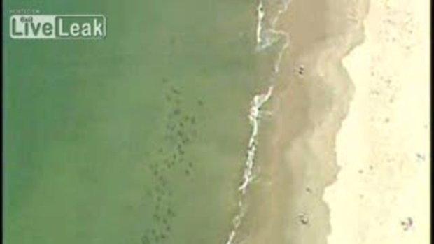 ว่ายน้ำกลางฝูงฉลามแบบไม่รู้ตัว