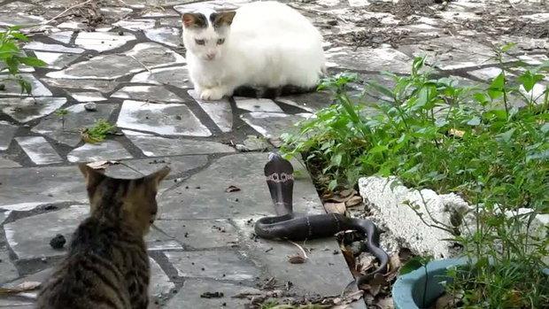 แมว ปะทะ งูเห่า